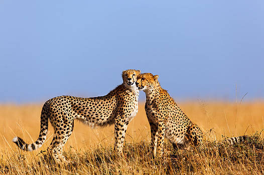 Cheetah mother with daughter Masai Mara by Maggy Meyer