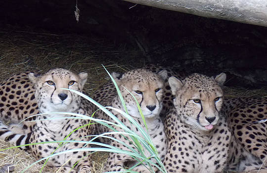 Cheetahs by Martin Blakeley