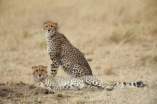 Cheetahs Resting by Phyllis Peterson
