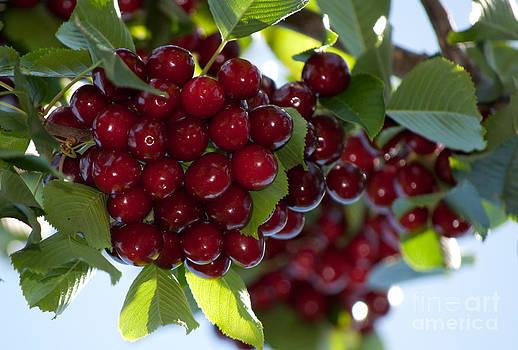 Gwyn Newcombe - Cherries