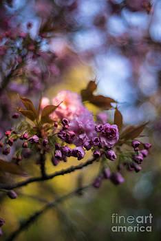 Mike Reid - Cherry Blossom Blue Sky