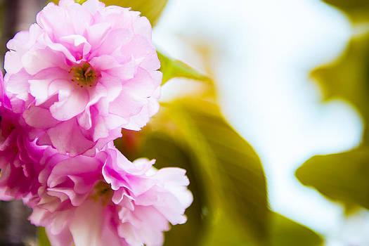 Cherry Blossom Closeup by Courtney DeGregorio