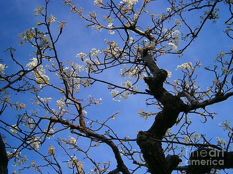 Cherry Blossom by Drew Shourd