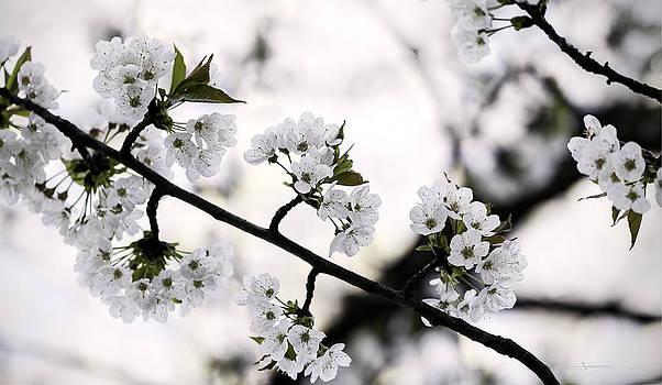 Cherry Blossom by Jens Tischer
