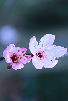 Cherry Blossom by Theresa Selley