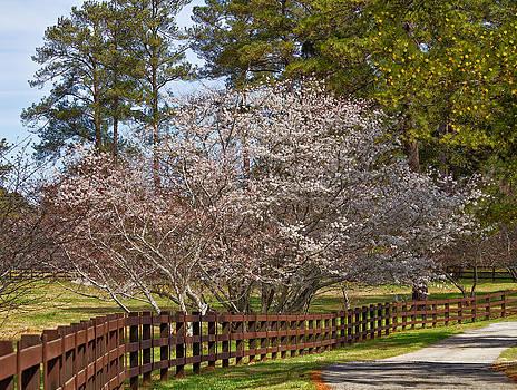 Kim Hojnacki - Cherry Blossom Tree