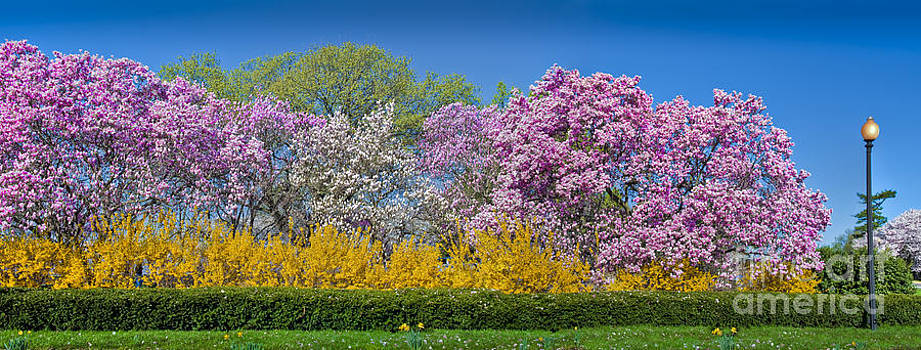 David  Zanzinger - Cherry Blossom trees in Full Bloom Sakura Cherry Blossoms Washington DC
