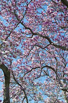 David  Zanzinger - Cherry Blossom trees looking up in Washington DC