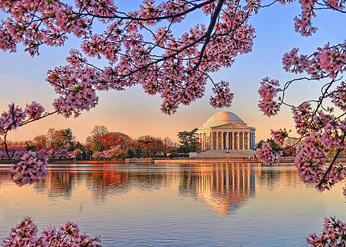 Cherry Blossoms by Boyd Alexander