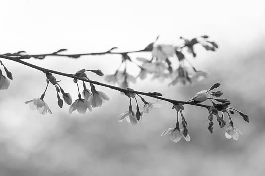 Cherry Blossoms by Kyle Wasielewski