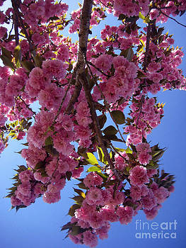 Cherry Blossoms by Lisa Jones