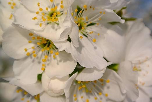 Cherry Blossoms  by Tamara Bettencourt