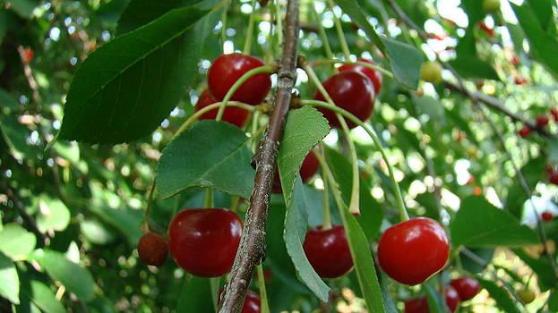 Cherrys by Ionut Salavastru