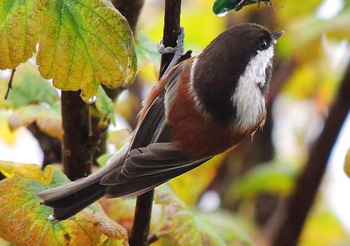 Chestnut-backed Chickadee by Karen Horn