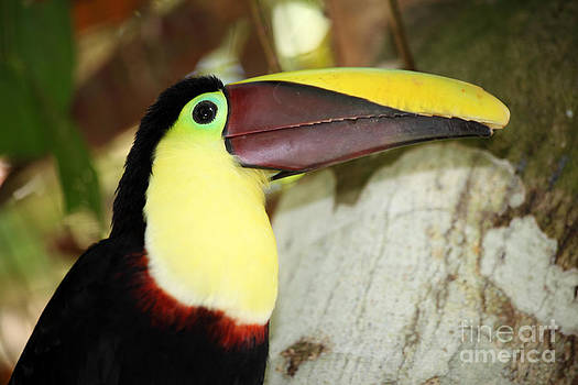 James Brunker - Chestnut mandibled toucan