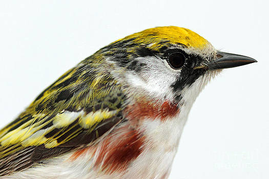 Chestnut Sided Warbler Portrait by Deanna Wright
