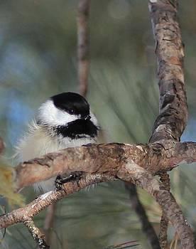 Chiciadee on a branch by Jody Benolken