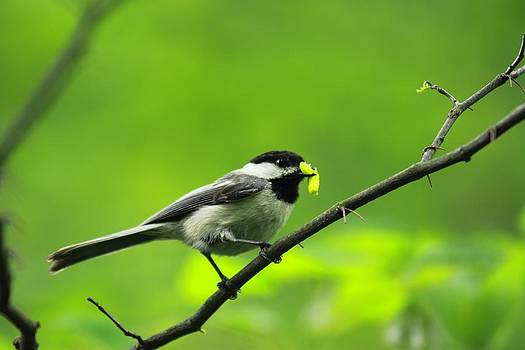 Chickadee and Worm by Tammy Franck