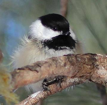 Chickadee Bird  by Jody Benolken