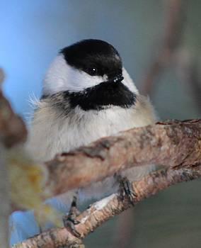 Chickadee Bird On A Branch by Jody Benolken