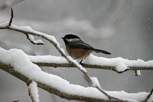 Chickadee In Snow by Ed Nicholles