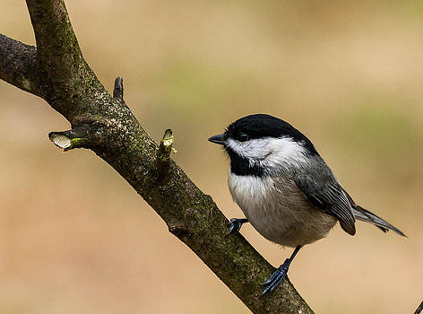 Chickadee in Tennessee by Jim Johnson