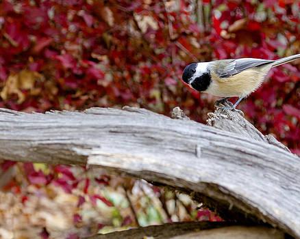 Chickadee by Paul Geilfuss