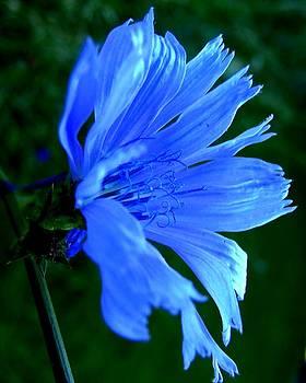 Chicory by Mark Malitz