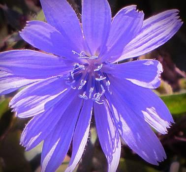 Chicory Wild Flower by Christine Bradley