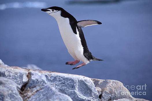 Francois Gohier - Chinstrap Penguin Hopping