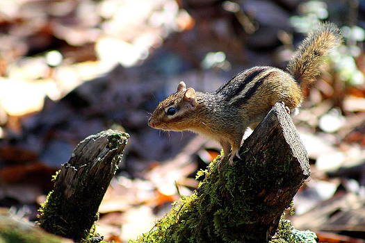 Chipmunk On The Hunt by Jim Johnson