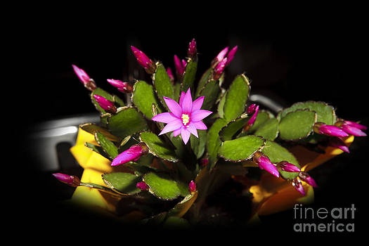 Christmas Cactus by Cecil Fuselier
