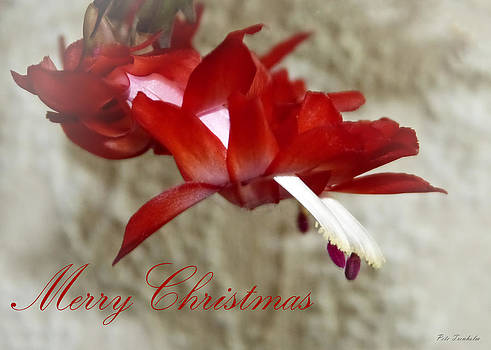 Christmas Red Beauty Card by Pete Trenholm