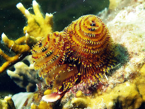 Christmas Tree Worms by Brian Sevald