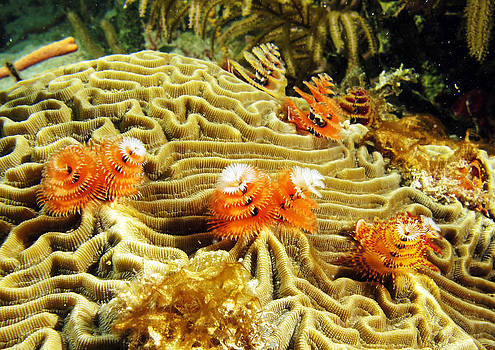 Christmas Tree Worms On Brain Coral by Brian Sevald