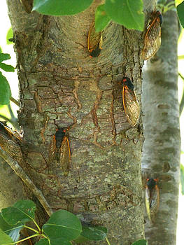 Cicada Season by Julie Grace