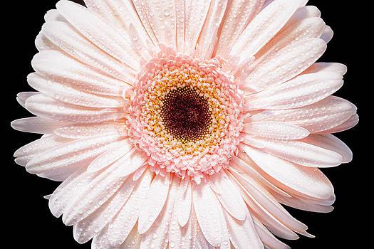 Circle Daisy by Janice Sullivan