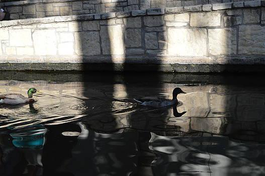 City Ducks by Shawn Marlow