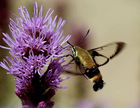Rosanne Jordan - Clearwing Hummingbird Moth
