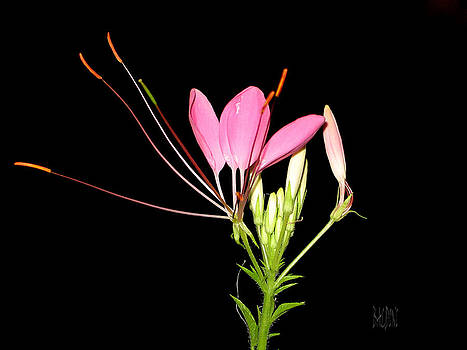 Cleome by J R Baldini Master Photographer