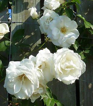 Climbing Rose by Kevin Perandis