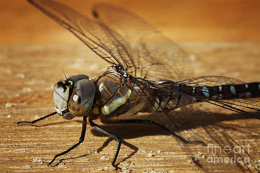 LHJB Photography - Close-up of a dragonfly