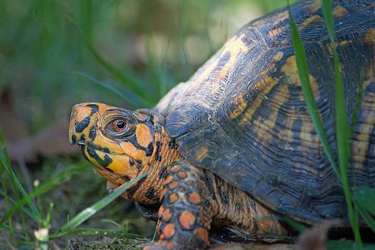 Eastern Box Turtle by Carla Mason