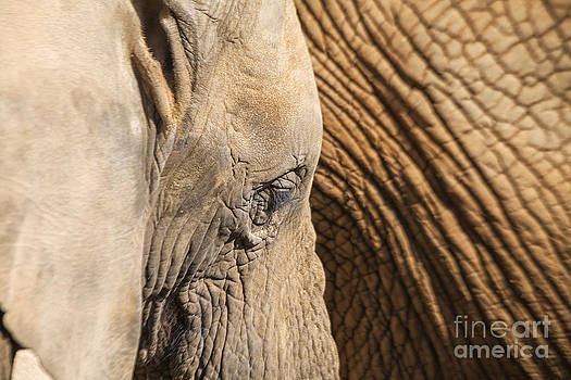 Patricia Hofmeester - Close up of an elephant