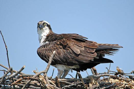 Osprey by Carla Mason