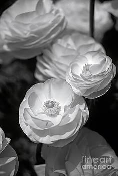 David Zanzinger - Close up of flowers in Black and White