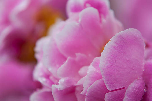 Close-up of Peonies by Matt Dobson