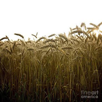 BERNARD JAUBERT - Close-up of wheat ears.