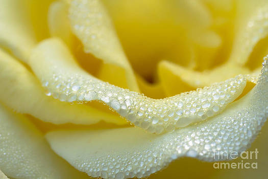 Close-up Of Yellow Rose With Water Drops  by Tosporn Preede