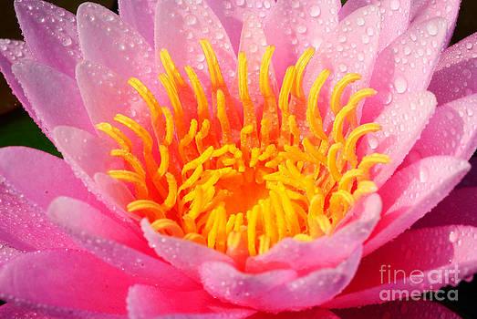 Close up on the carpel of pink lotus by Pathompoom Srikudvien